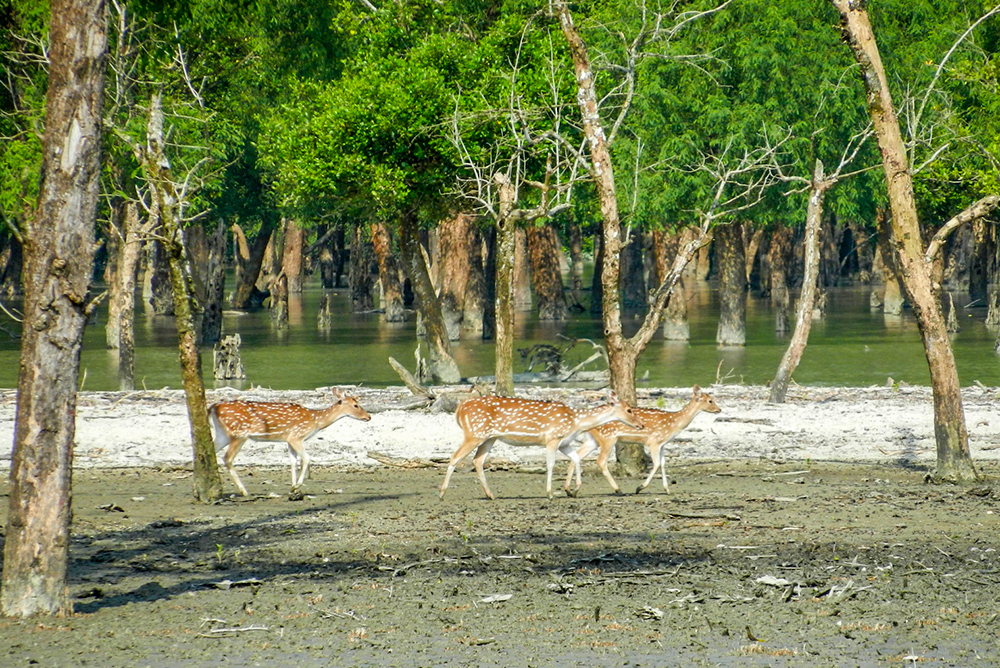 Deers in Sundarbans, the most beautiful place on earth.