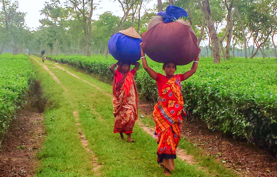 Tea workers going to deposit the tea leaves after full day's peaking.