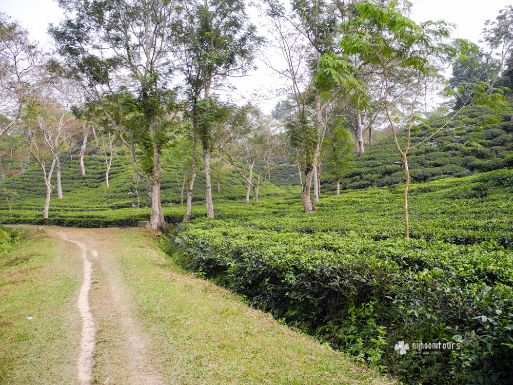 Tea plantations of Srimangal